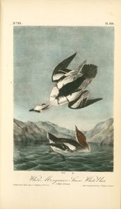 John James Audubon - White Merganser Smew. White Nun. 1. Male. 2. Female