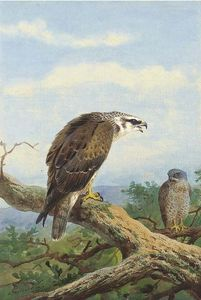 Archibald Thorburn - Honey Buzzard