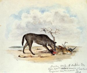 Titian Ramsay Peale - Dusky Wolf (Lupus Nubilus) (also known as Devouring a Mule-Deer Head)