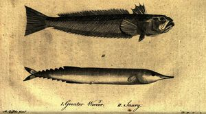 Moses Griffith - Greater Weever - Saury - from A Tour in Scotland