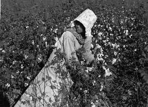 Marion Post Wolcott - Mexican woman, seasonal labor contracted for by planters, picking cotton on Knowlton Plantation, Perthshire, Mississippi Delta, Mississippi